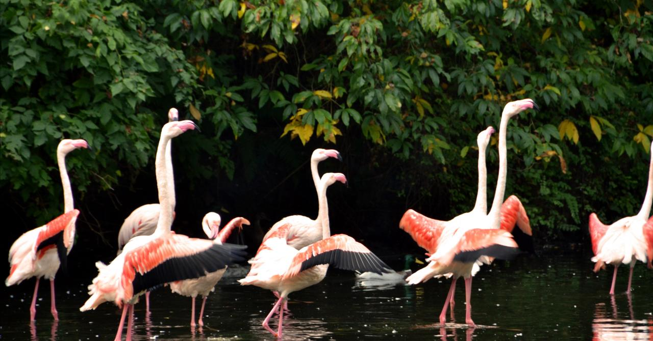 Europese Flamingo's in Bellewaerde