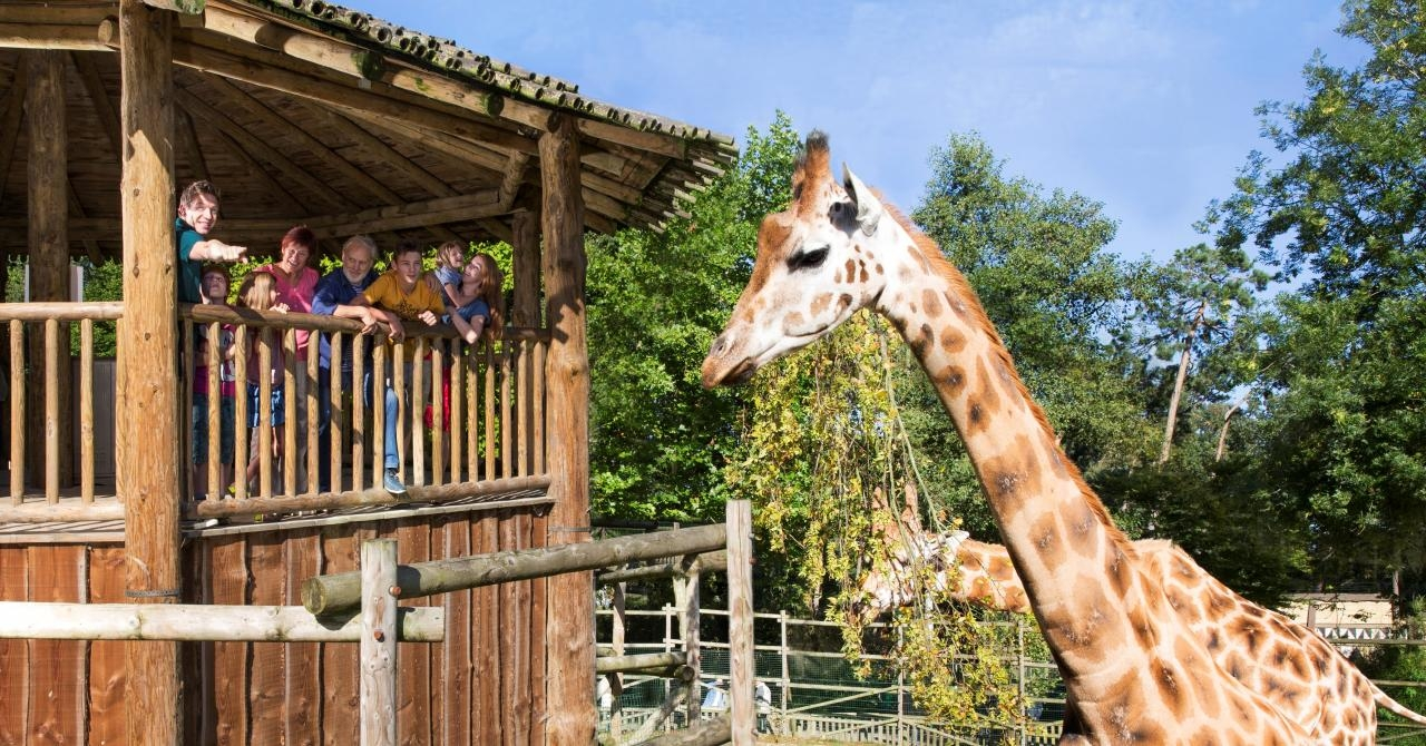 Giraffen in Bellewaerde